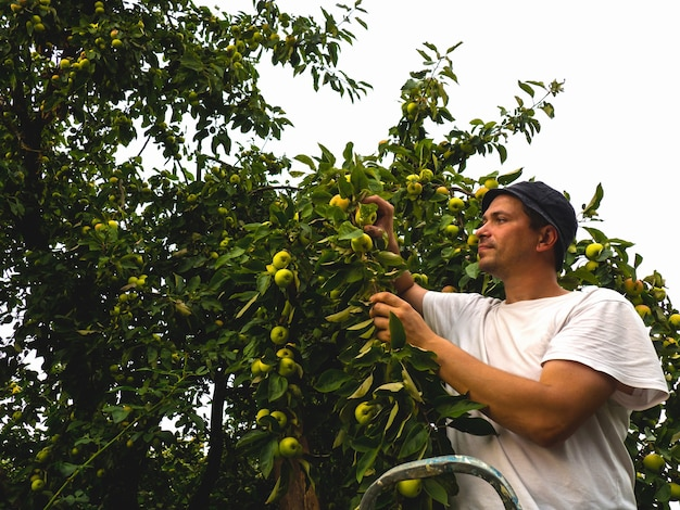 A man farmer picks a fresh harvest of apples from a tree