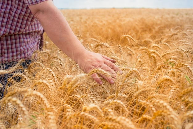 A man farmer stands in a field with wheat and inspects his harvest.