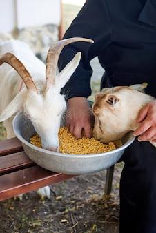トウモロコシとヤギに餌をやる男