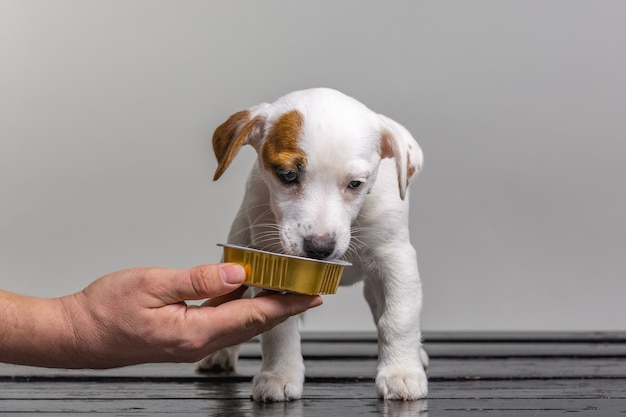 Man feeding little cute jack russel puppy from the hand on white