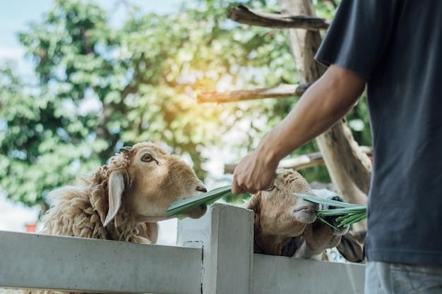 Man feeding sheep  in farm.