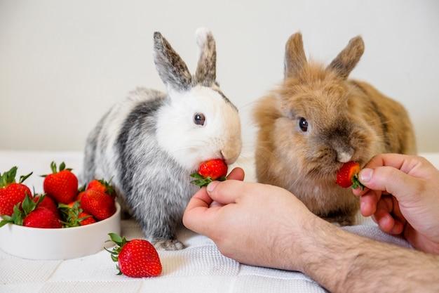 Человек, кормящий клубнику кроликами