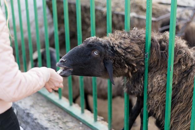男は動物園で子羊に餌をやる