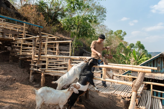 Man feeds a goat with banana in farm.