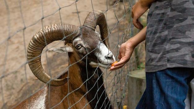 男は動物園でムーフロンニンジンを養う