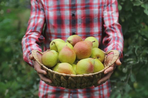 Садовник мужчина держит в руках урожай груш