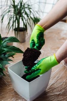 観葉植物spathiphyllumを移植する庭師の男は、地球を鍋に注ぎます。ホームガーデニングのコンセプトです。