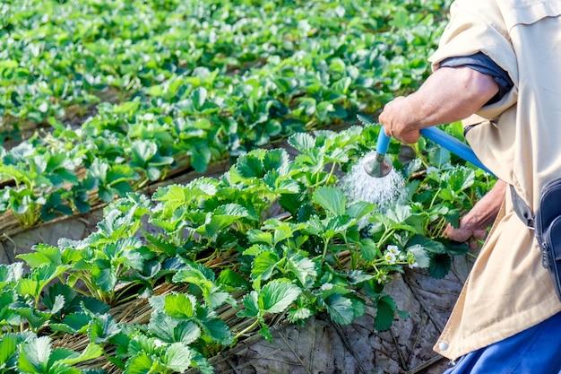 農場でイチゴの植物に水をまく男の庭師