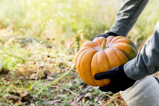 Man in gloves holds a yellow pumpkin in field at sunset in autumn harvest time. pumpkin patch. happy thanksgiving and halloween symbol. copy space.