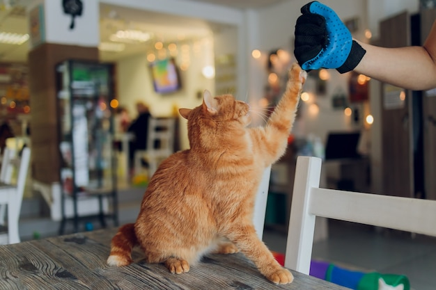Мужчина ухаживает за кошкой в специальных перчатках. уход за животными.
