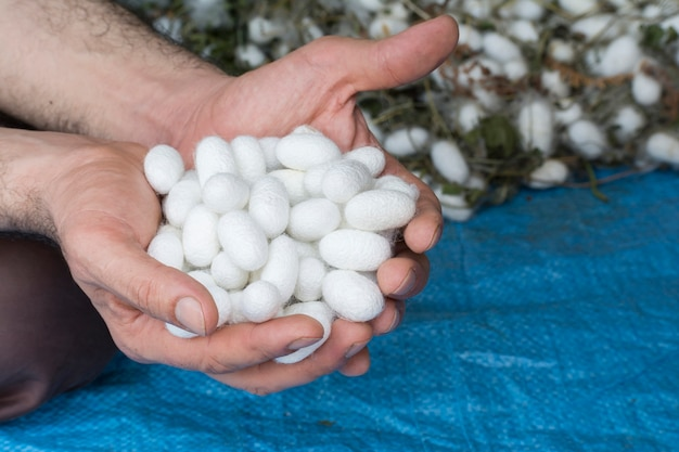 Man hand holding collection of white silkworm cocoon shells