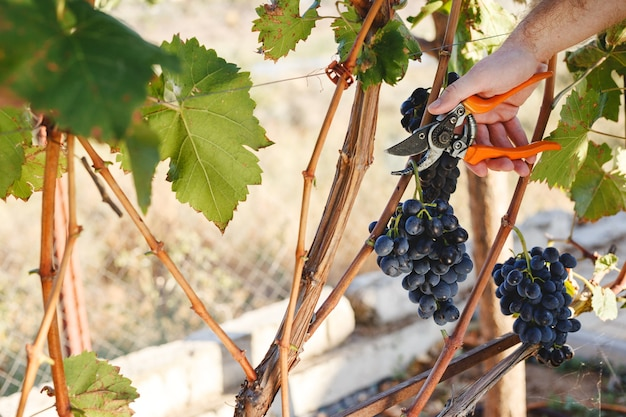 Man hand with scissors cutting grapes bunches in grape harvesting time for food or wine making. cabernet franc, sauvignon, grenache grapes.