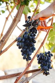 가위 절단 포도로 남자 손은 음식이나 와인 만들기를위한 포도 수확 시간에 움큼