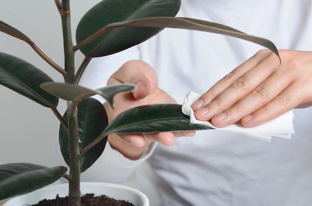 남자 손 젖은 냅킨으로 무화과 나무 식물을 청소