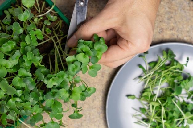 Мужские руки режут свежие ростки микрозелени редиса сырые ростки микрозелень здоровое питание