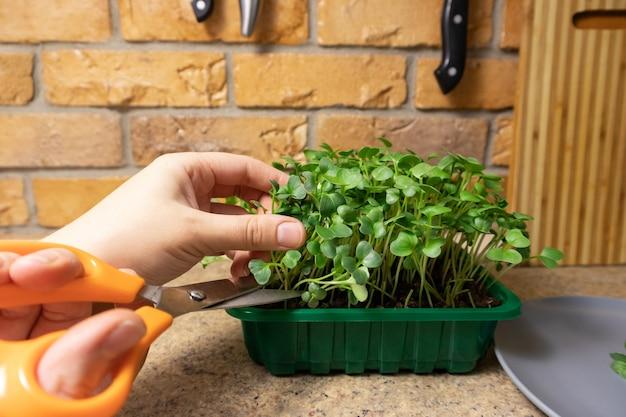 Руки человека режут свежие ростки микрозелени редиса