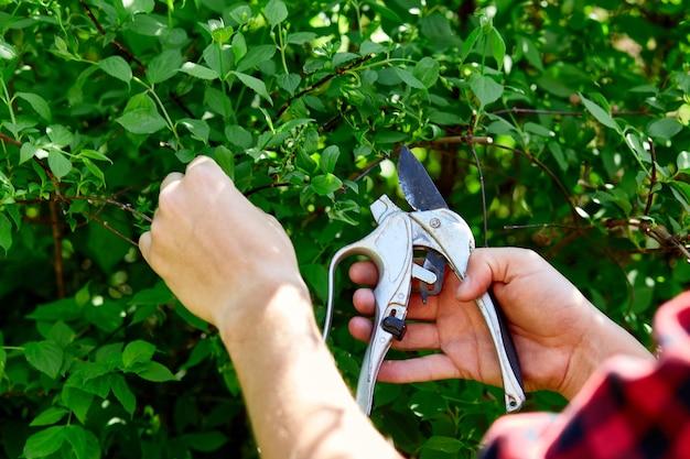 男の手は、手剪定はさみで茂みの枝を切ります。庭師は緑の茂みをトリミングして造園します。庭の思いやりと美しさの概念。庭師のトリミング植物、トピアリーの仕事。