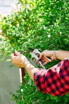 男の手は手剪定はさみで茂みの枝を切ります。庭師は緑の茂みをトリミングして造園します。