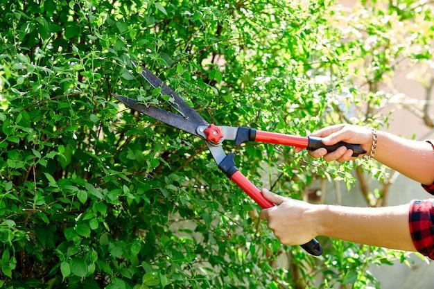 男の手は手剪定はさみで茂みの枝をカットします。
