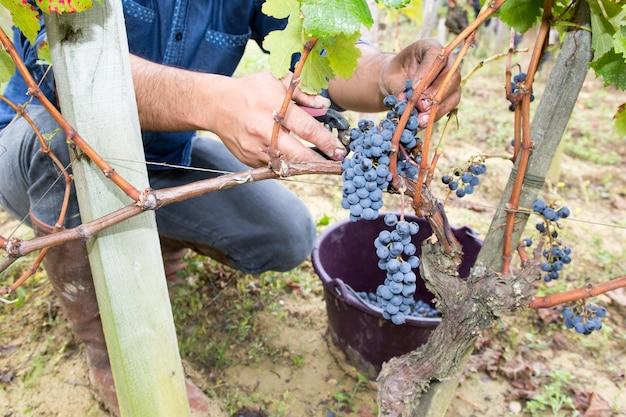 ブドウの収穫時間の房を切るハサミで男の手