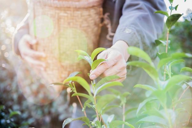 Сбор урожая / сбор свежих листьев зеленого чая на чайном поле в чиангмае Бесплатные Фотографии