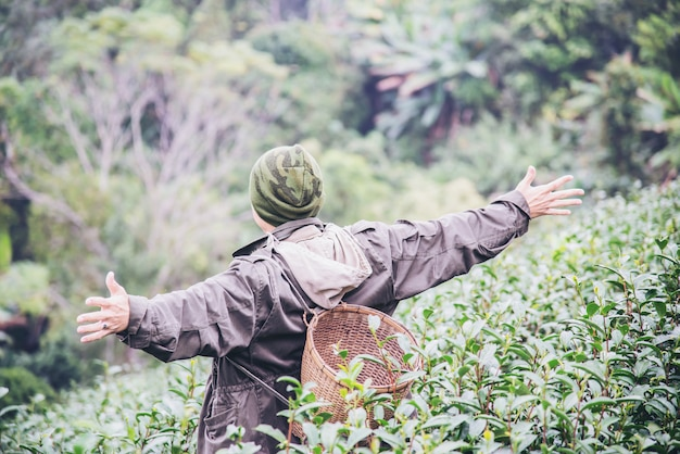 Man harvest / pick fresh green tea leaves at high land tea field in chiang mai thailand