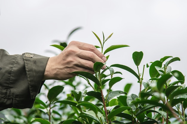 Man harvest / pick fresh green tea leaves at high land tea field in chiang mai thailand