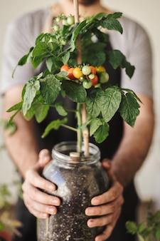 いくつかのトマトと鍋に自家製のチェリートマト植物を持っている男。ホームオーガニックガーデン
