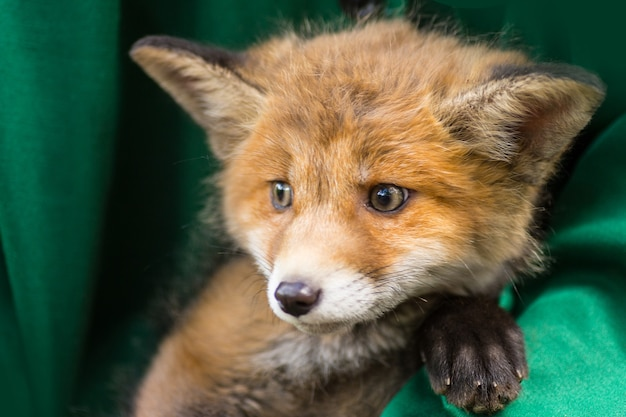 A man holding a little young red fox