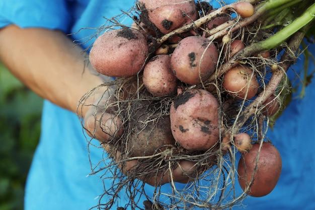 Мужчина держит картофельное растение с клубнями, крупным планом