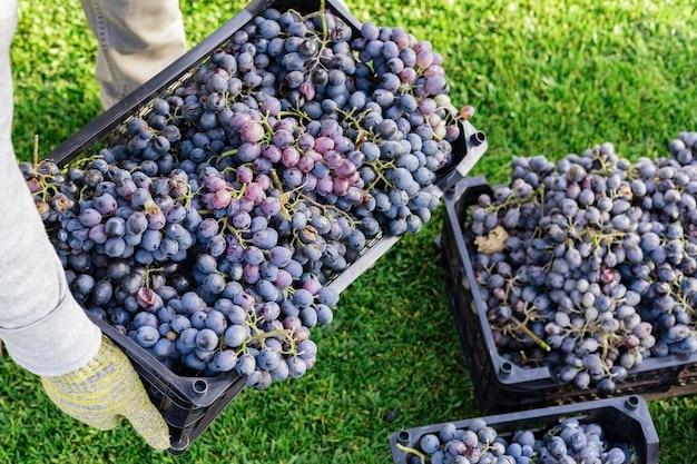 남자는 잘 익은 검은 포도의 상자를 야외에서 보유하고있다. 가을 포도 포도 수확 준비 포도원 와인 만들기 위해 배달합니다. 까베르네 소비뇽, 메를로, 피노 누아, 산지오베제 포도가 바구니에 담겨 있습니다.