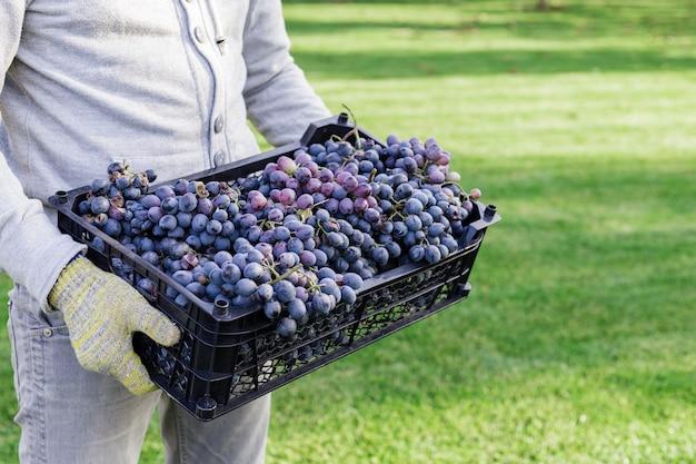 남자는 잘 익은 검은 포도의 상자를 야외에서 보유하고있다. 가을 포도 포도 수확 준비 포도원 와인 만들기 위해 배달합니다.