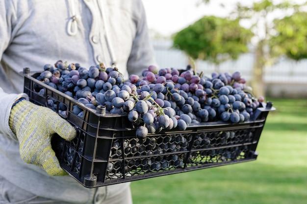 男は箱を持っています熟した房は屋外で黒ブドウを束ねます。ブドウ園で秋のブドウの収穫