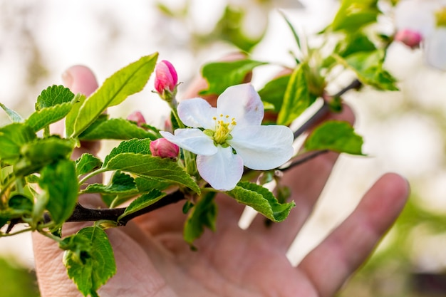 A man holds a branch of apple with a flower and buds in his hand
