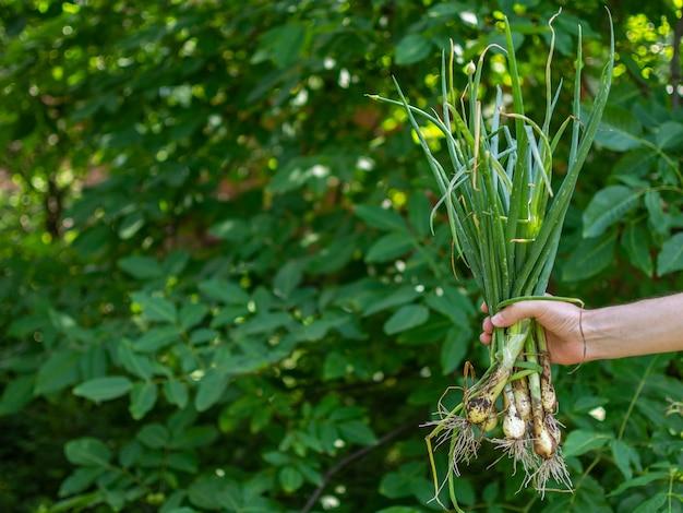 남자는 정원에서 그의 손에 신선한 녹색 양파, 정원에서 신선한 젊은 야채를 보유하고 있습니다.
