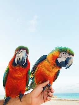 Man holds two colorful macaw parrots on his arm
