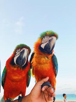 남자는 그의 팔에 두 개의 화려한 잉 꼬 앵무새를 보유 하