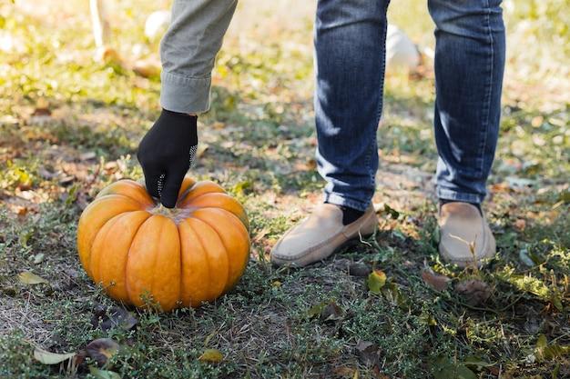 장갑에 남자는 가을 수확 시간에 일몰 필드에 노란색 호박을 보유하고 있습니다. 호박 패치. 즐거운 추수 감사절과 할로윈 기호입니다. 공간을 복사하십시오.