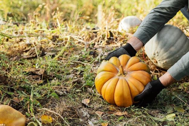 장갑에 남자는 가을 수확 시간에 일몰 필드에 노란색 호박을 보유하고 있습니다.