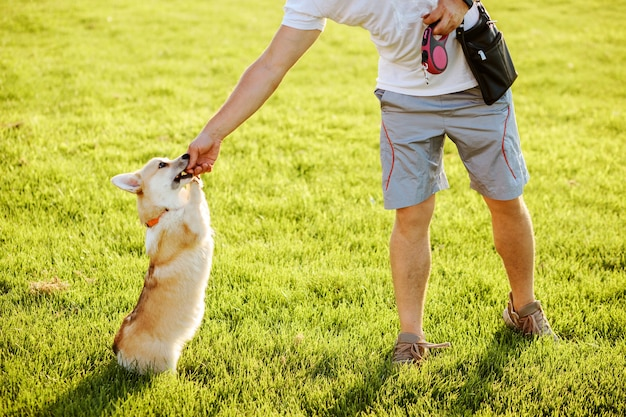 Man is feeding and training his welsh corgi pembroke dog outdoors in summer.