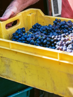 A man is holding a box of freshly picked grapes. harvesting for making wine or champagne.