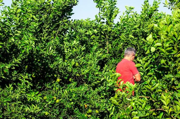 Человек смотрит на оранжевую плантацию.