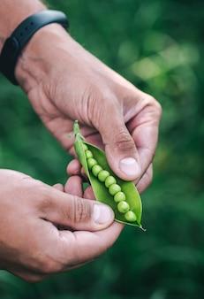 男は庭の収穫の背景にグリーンピースのポッドを開きます