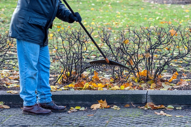 Man in the park along the sidewalk raking fallen autumn leaves, autumn cleaning works