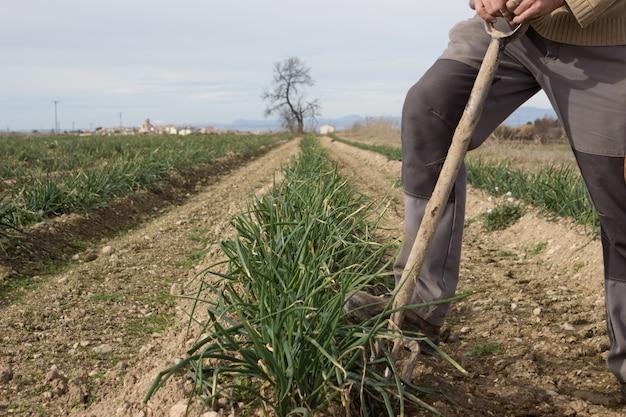 Man picking calçots at a plantation