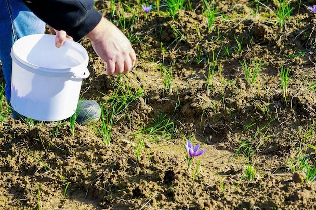 남자는 양동이에서 사프란 꽃을 선택합니다. 농장 산업.