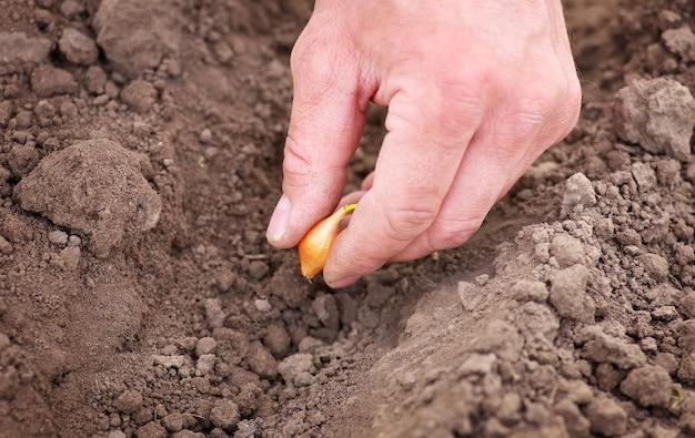 야채 정원에 양파를 심는 남자. 행에 양파 심기를 닫습니다