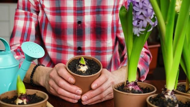 남자는 화분 히아신스에 꽃을 심습니다. 선택적 초점. 사람들