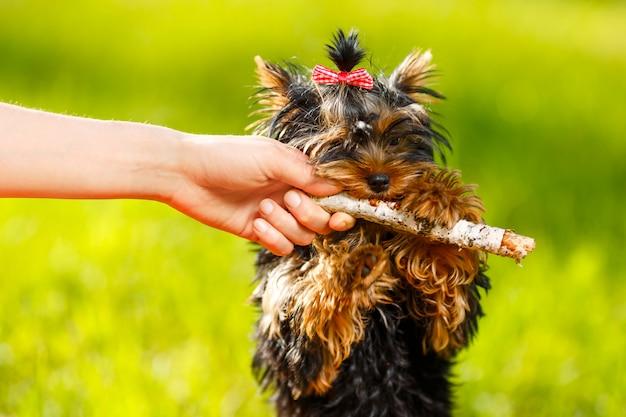Человек тянет клюшку от собаки - маленький йоркширский терьер. лето, парк