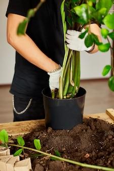 男は木製のテーブルにザミオクルカスと一緒に黒い鍋に土を置き、屋内植物、趣味やレジャー、家庭菜園を移植します。